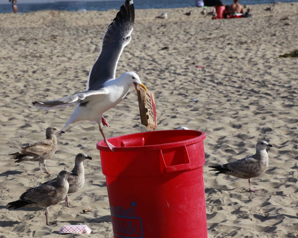 seagull picking at trash